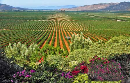 Vineyards in Valle de Guadalupe
